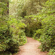 A Path To The Redwoods Art Print