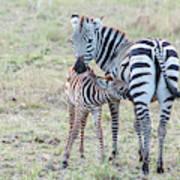 A Plains Zebra, Equus Quagga, Nursing Art Print