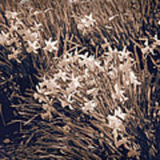 Clusters Of Daffodils In Sepia Art Print