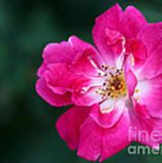 A Pretty Pink Rose Art Print