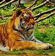 A Real Detroit Tiger Art Print