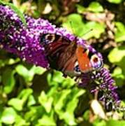 A Red Admiral On A Purple Budlier Art Print