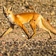 A Red Fox Art Print