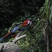 A Red Green And Blue Macaw On A Branch In The Jurong Bird Park Art Print