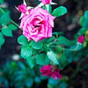 A Rose Blooms Art Print