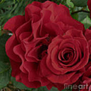 A Rose Within A Rose Art Print