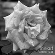 A Rose In Black And White Art Print