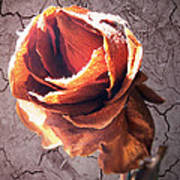 A Rose Is A Rose Art Print