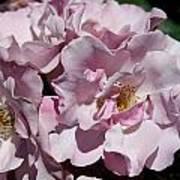 A Rose Named Blueberry Hill  Art Print