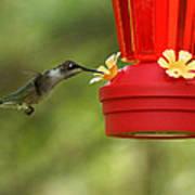 A Ruby-throated Hummingbird Art Print