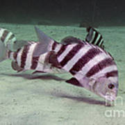 A School Of Sheepshead Feeding Print by Michael Wood
