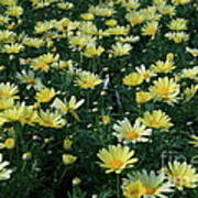 A Sea Of Yellow Daisys Art Print