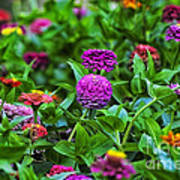 A Sea Of Zinnias 14 Art Print