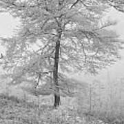 A Single Infrared Beech Tree Art Print