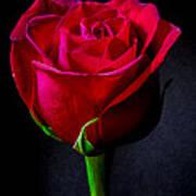 A Single Red Rose Art Print