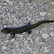 A Slow Salamander  Art Print