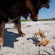 A Small Dog Fights With A Crab Art Print