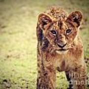 A Small Lion Cub Portrait. Tanzania Art Print