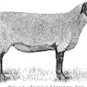 A Suffolk Shearling Ewe          Date Art Print