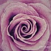 A Sugared Rose Art Print