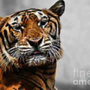 A Tiger's Look Art Print