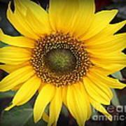 A Touch Of Sunshine - Sunflower Art Print