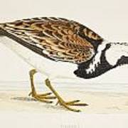 A Turnstone. Arenaria Interpres. From A Art Print
