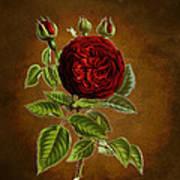 A Vintage Rose Wonder Art Print