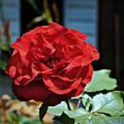 A Vivid Red Rose Art Print
