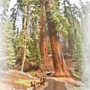 A Walk Among The Giant Sequoias Art Print