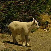 A Young Mountain Goat Art Print