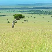 Acacia In The Green Plains Of Masai Mara Art Print