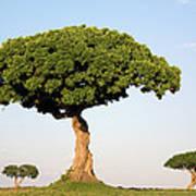 Acacia Trees Masai Mara Kenya Art Print