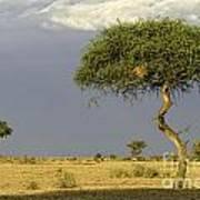 Acacia Trees On Serengeti Art Print