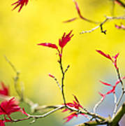 Acer Colour Art Print by Tim Gainey