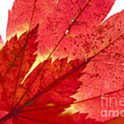 Acer From Beneath Art Print