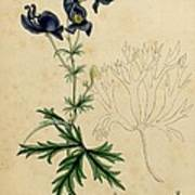 Aconitum Napellus By Sowerby Print by Philip Ralley