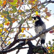 Acorn Woodpecker In Tree  In Park Sierra-ca Art Print