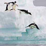 Adelie Penguins Diving Off Iceberg Art Print
