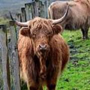 Adorable Highland Cow Art Print