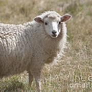 Adorable Sheep Art Print