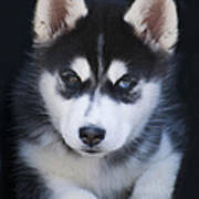 Adorable Siberian Husky Sled Dog Puppy Art Print