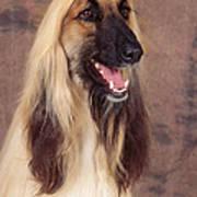 Afghan Hound Dog, Portrait Art Print