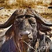 African Buffalo V3 Art Print