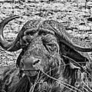 African Buffalo V4 Art Print