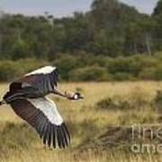 African Crowned Crane Art Print