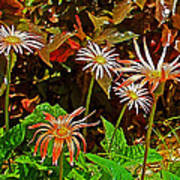 African Daisies In Aswan Botanical Garden On Plantation Island In Aswan-egypt Art Print