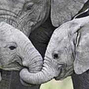 African Elephant Calves Loxodonta Art Print