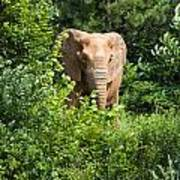 African Elephant Eating In The Shrubs Art Print