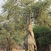 African Elephant Feeding From A Tree Art Print